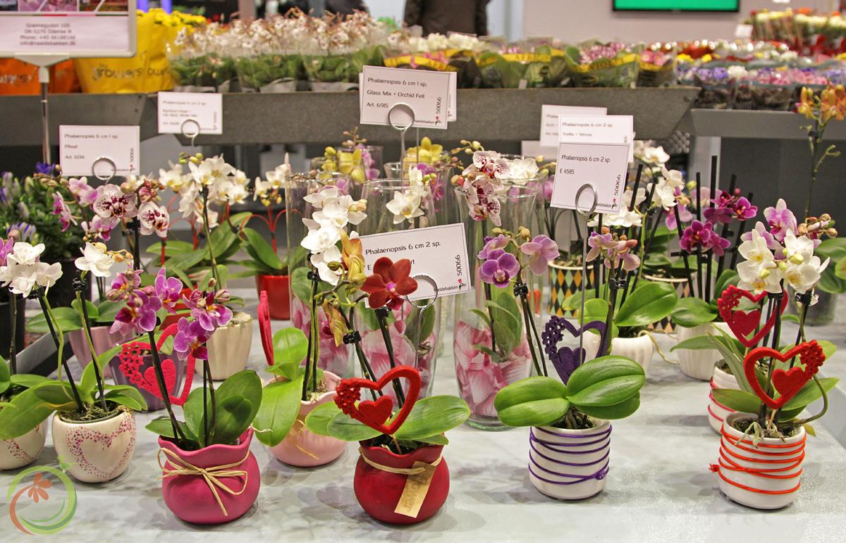 Всевозможные сорта Орхидей Фаленопсис